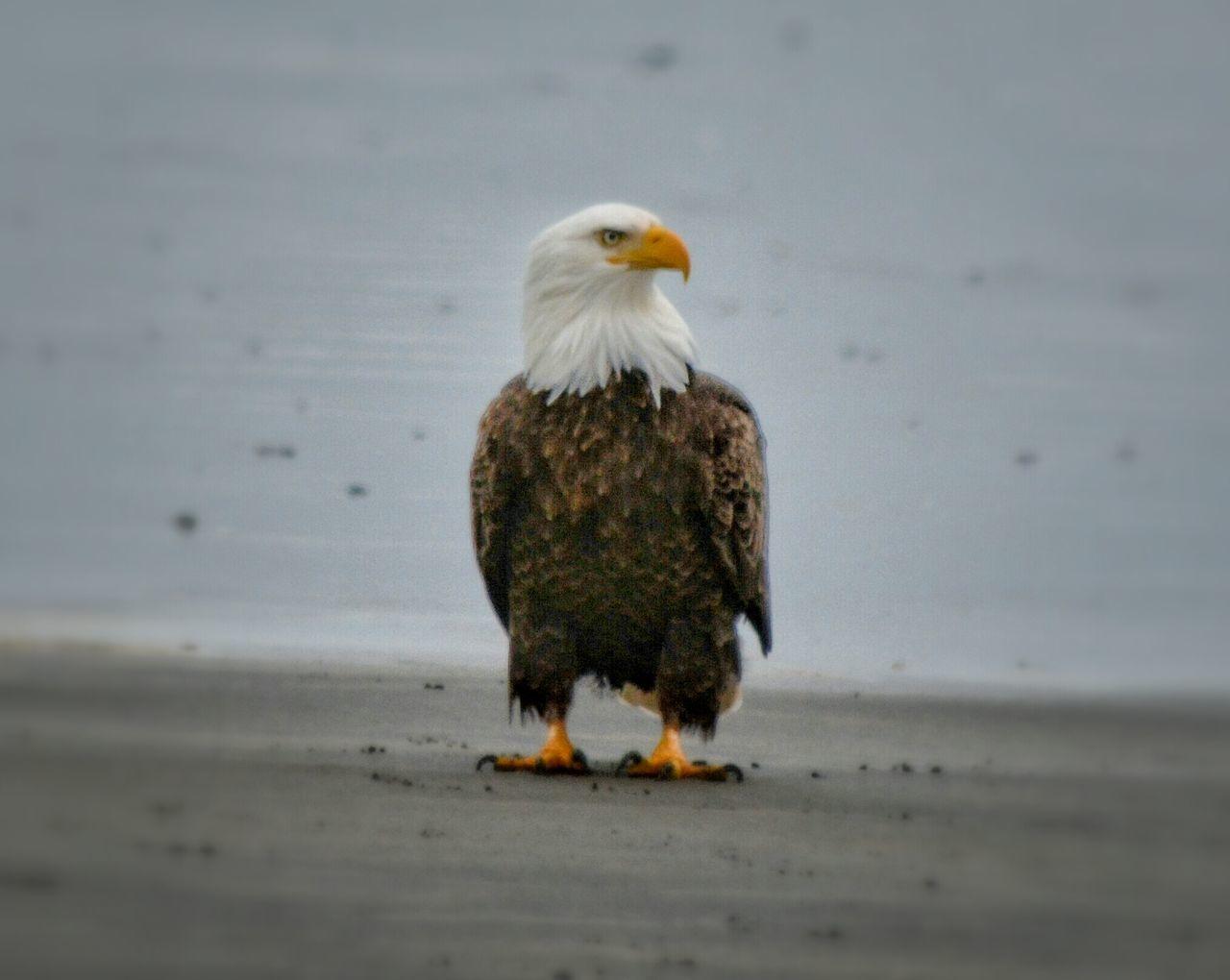 Nature Collection Bird Of Prey Bird Photography Bald Eagle