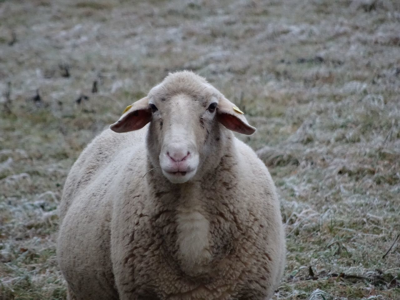 Livestock Animal Themes Looking At Camera Sheep Portrait Domestic Animals One Animal Mammal Field No People Close-up Day Rural Outdoors Nature White Frost Cold Temperature Snow