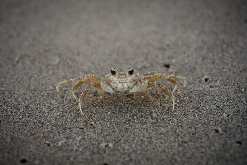 This tiny crab froze when we came too close. Great camouflage colors! One Animal Animals In The Wild Beach Close-up No People Crab Camouflage Beachphotography EyeEm Best Shots EyeEm Best Shots - Nature Sony A6000 Mustang Island Texas State Parks