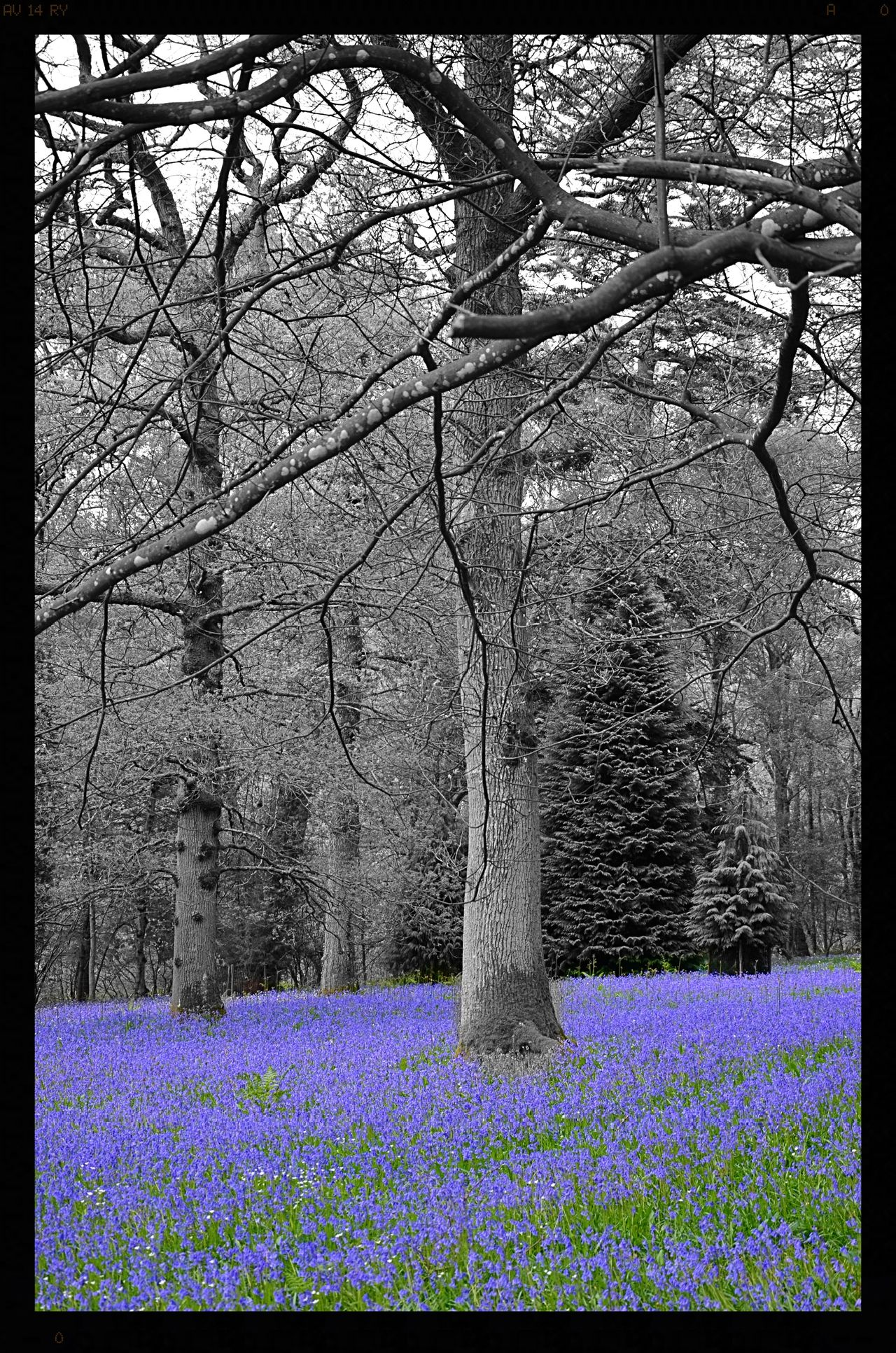 Beauty In Nature Bluebell Bluebell Wood Bluebells Flower Flowers Flowers :) Flowers, Nature And Beauty Flowers,Plants & Garden Nature No People Outdoors Tree Tree Trees WoodLand