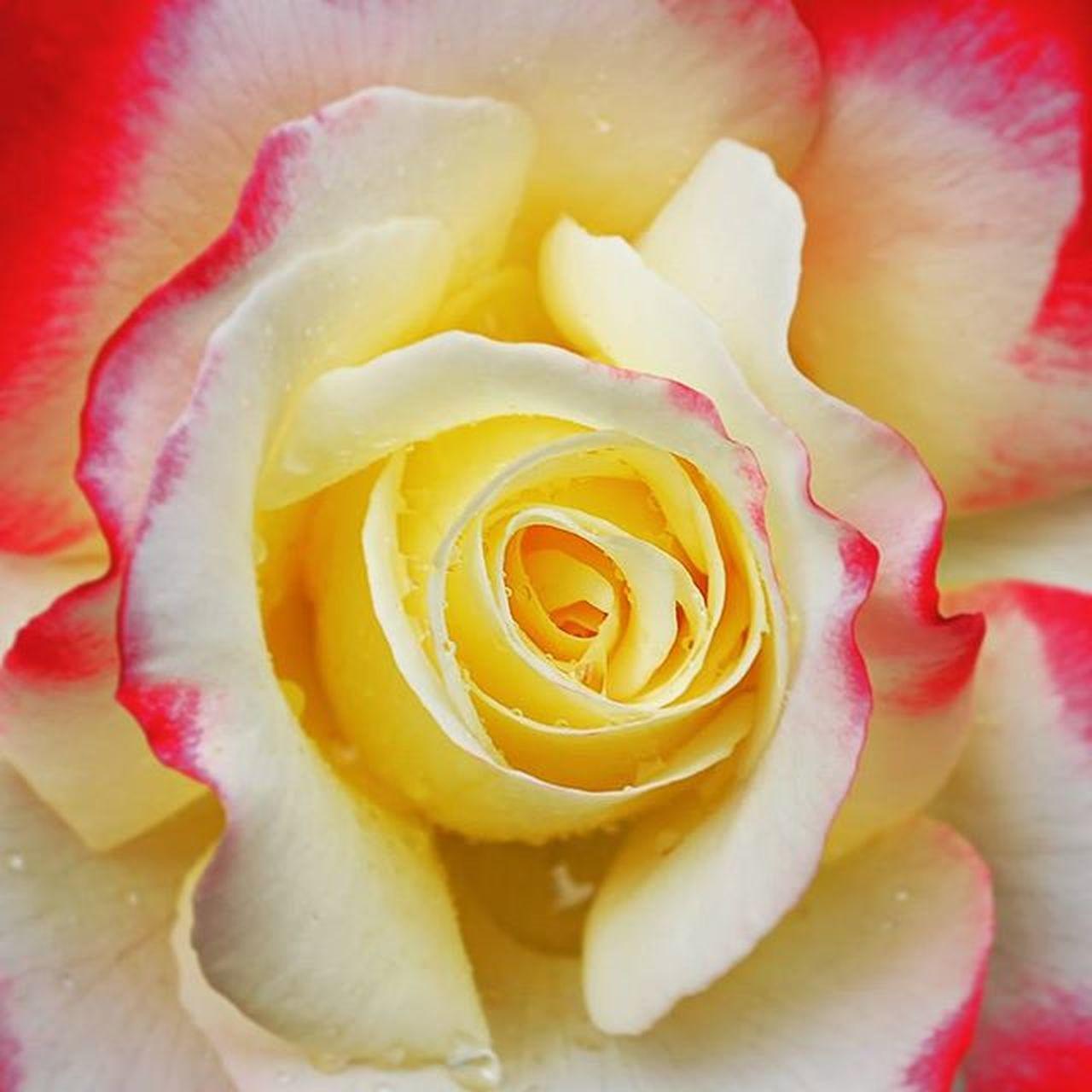 Rosé Doubledelight Nature Flower Petals Red Vibrant Macro Closeup Beautiful Beauty Dew Droplets Lead_me_to_oblivion Garden Gardening