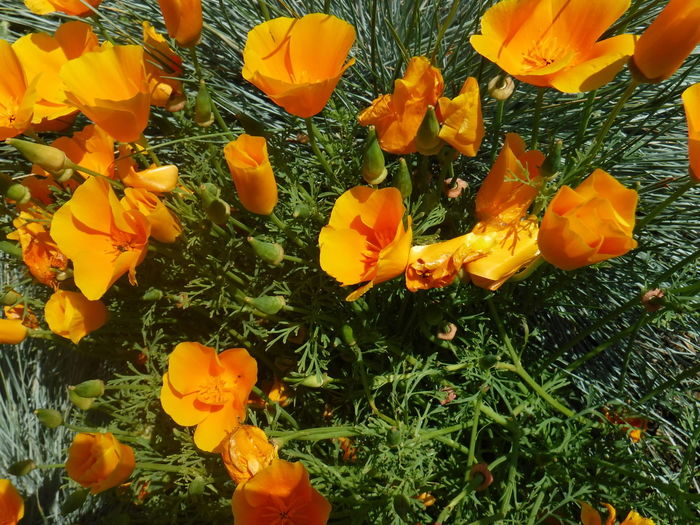 The 00 Mission Unedited The Purist California Dreaming Poppy Flowers Califoria Girl In A Washington World Taking Photos Hello World California State Flower Homesick