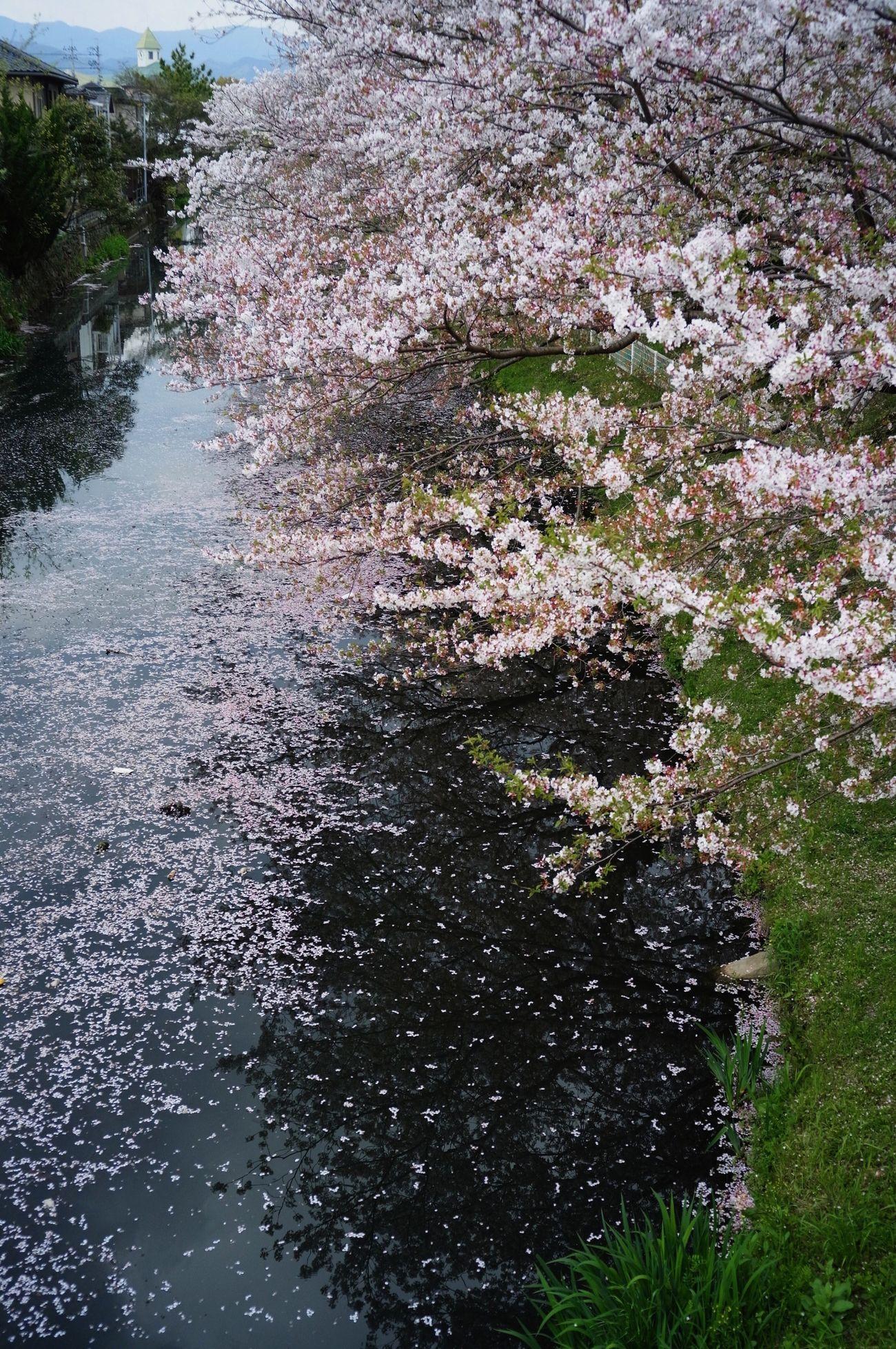 Sakura Springtime 徳島県 Color-skopar 25mm/f4 Japan