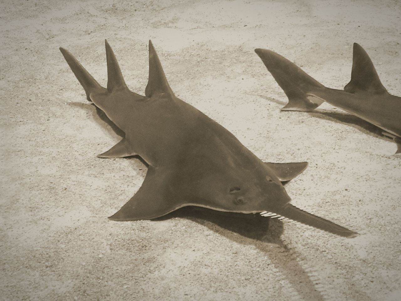 Saw Fish // Sawfish Fish Love EyeEm Best Shots Eye4photography  EyeEm Gallery Bestoftheday Beautiful Oceon Sea