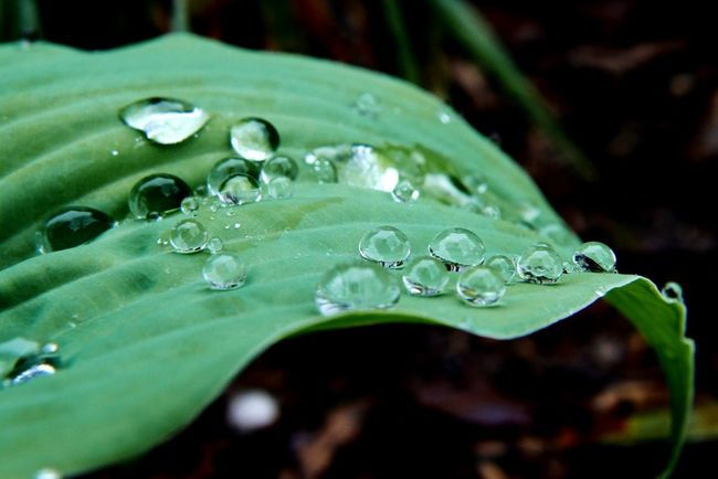 Making the most of a rainy week. Rain drop beads on new leaves. Green Color Water Droplets Waterdrops Beads Of Water RainyDays Newleaves Outdoors Nature Photography Naturelovers Nature Green Green Leaves Water Drops