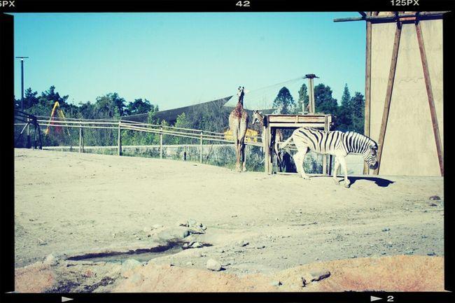 Buin Zoo Santiago Zebra Jirafe ♡