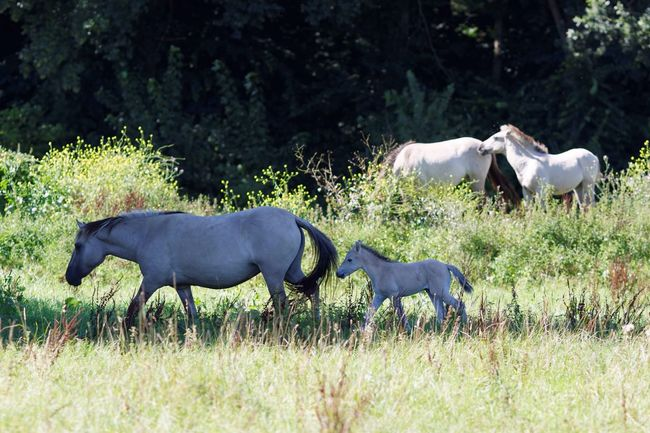 Walking In The Shadows Konik Horses Free Ranging Animals In The Wild Nature On Your Doorstep Walking Around Young Newly Born