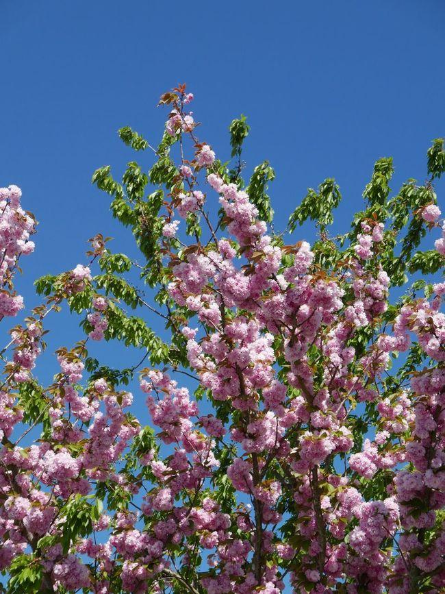 Japanese cherry tree Cherry Tree Japanese Cherry Tree. Tree Spring