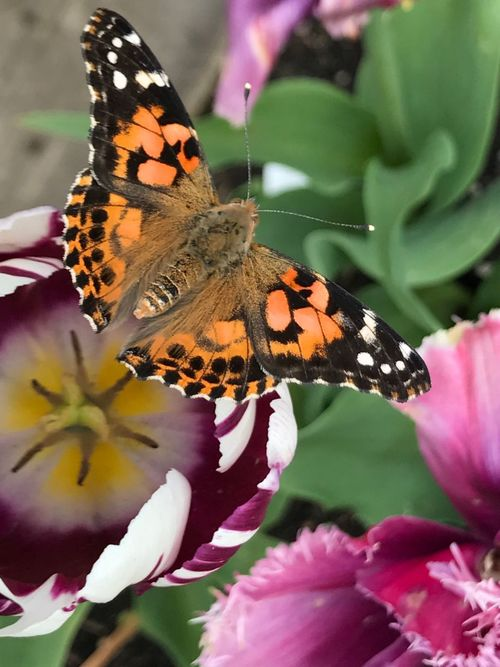 Butterfly - Insect Insect Beauty In Nature Close-up Butterfly Tulip Love Butterfly Garden Wings & Things Garden Love Wings Spread Animal Markings