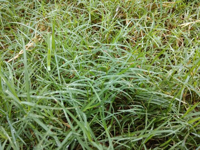 Rain rain ☺☺ Kashmir Is Heaven Kashmir Beauty Water Drops On Leaves Grass No People Close-up Freshness