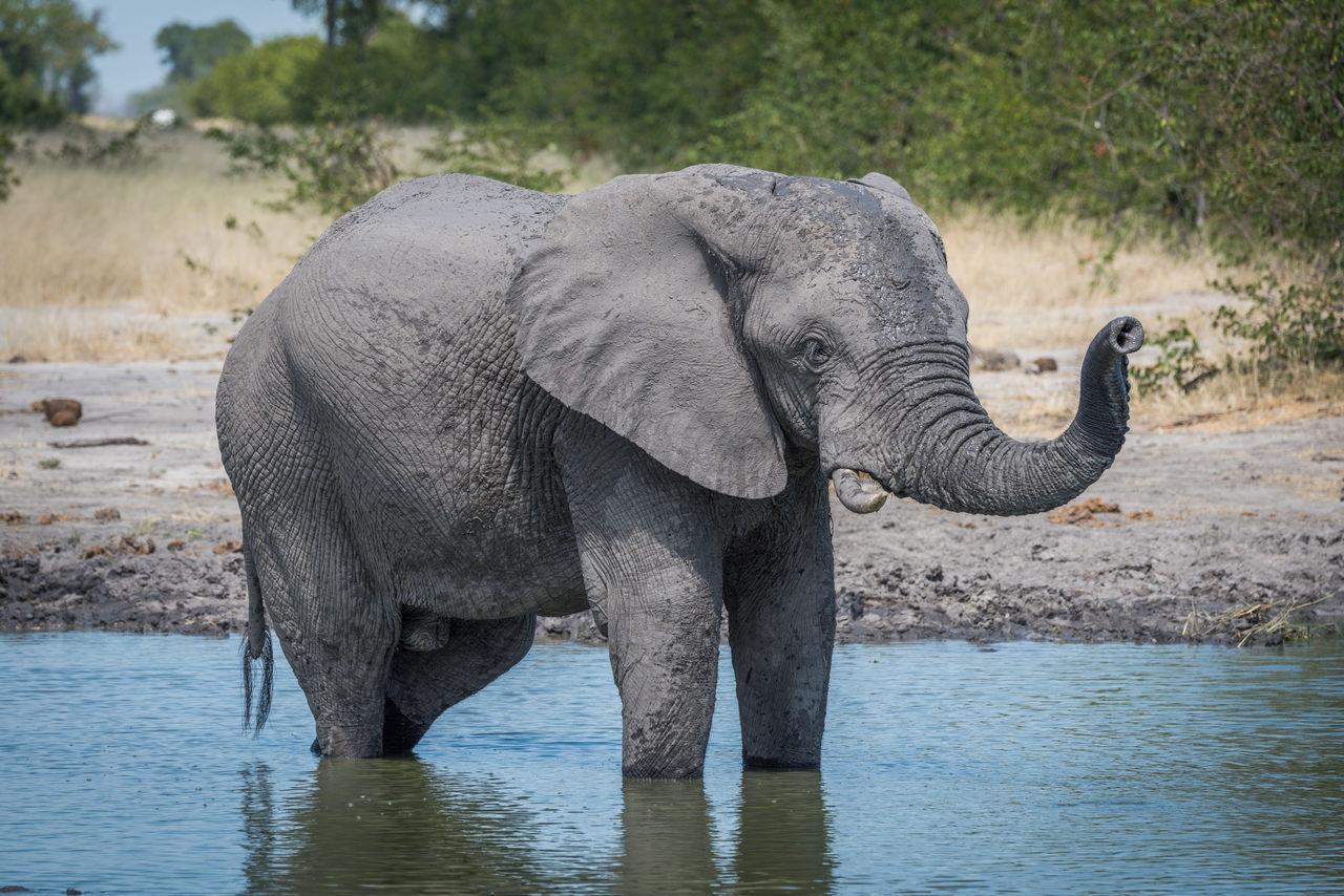 Beautiful stock photos of elefant, Animal Themes, Animal Wildlife, Animals In The Wild, Day