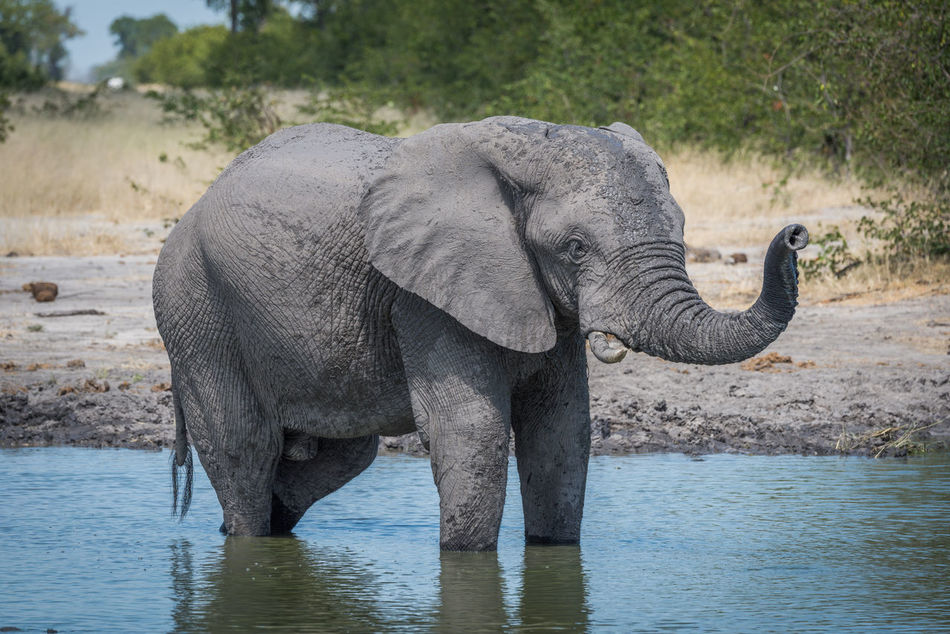 Beautiful stock photos of elefant, Animal Themes, Animal Wildlife, Animals In The Wild, Day
