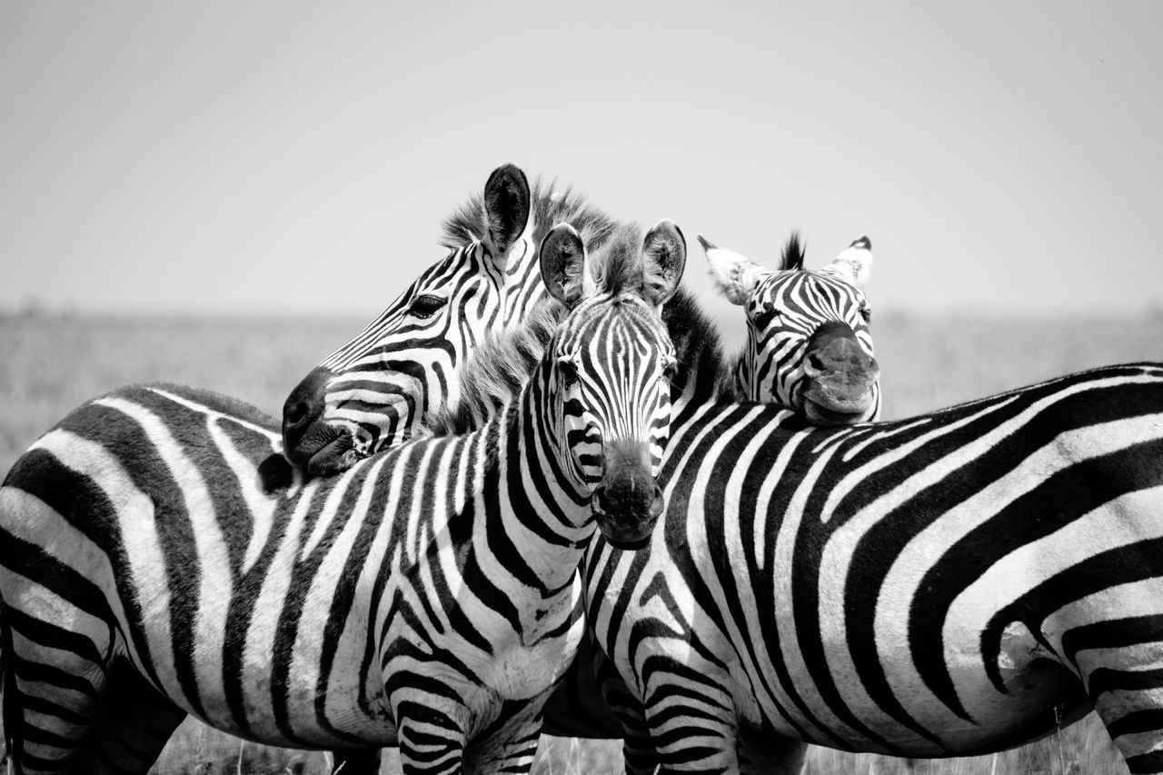 Beautiful stock photos of zebra, Animal Themes, Animals In The Wild, Clear Sky, Close-Up