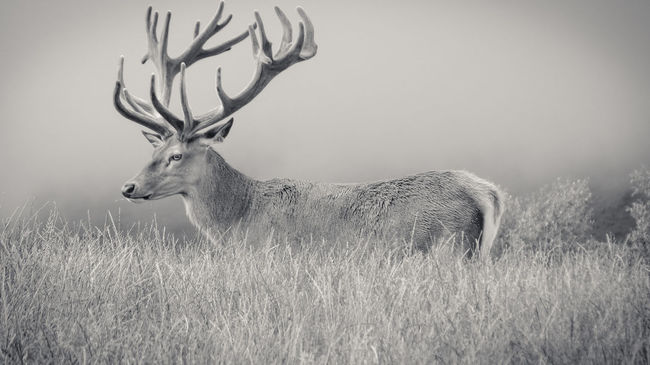 Alpha Animal Themes Antlers Beautiful Black & White Black And White Chewing Deer Deers Eating Female Field Grass Landscape Long Grass Male Mammal Nature Photography New Zealand Tranquil Scene