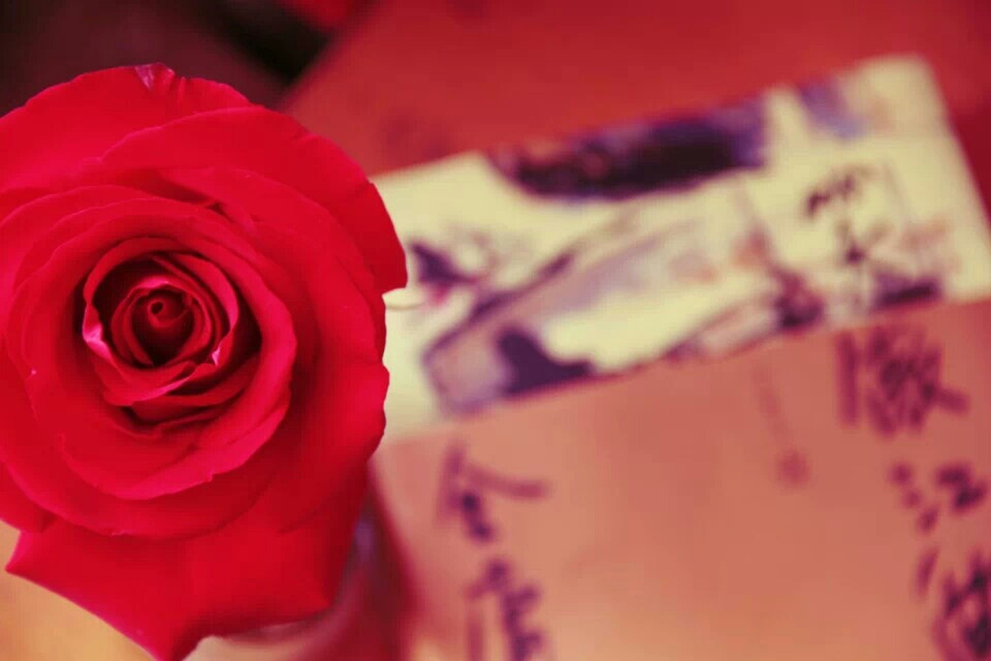 flower, petal, flower head, red, close-up, rose - flower, fragility, freshness, focus on foreground, pink color, beauty in nature, rose, indoors, single flower, selective focus, nature, blooming, no people, love, softness