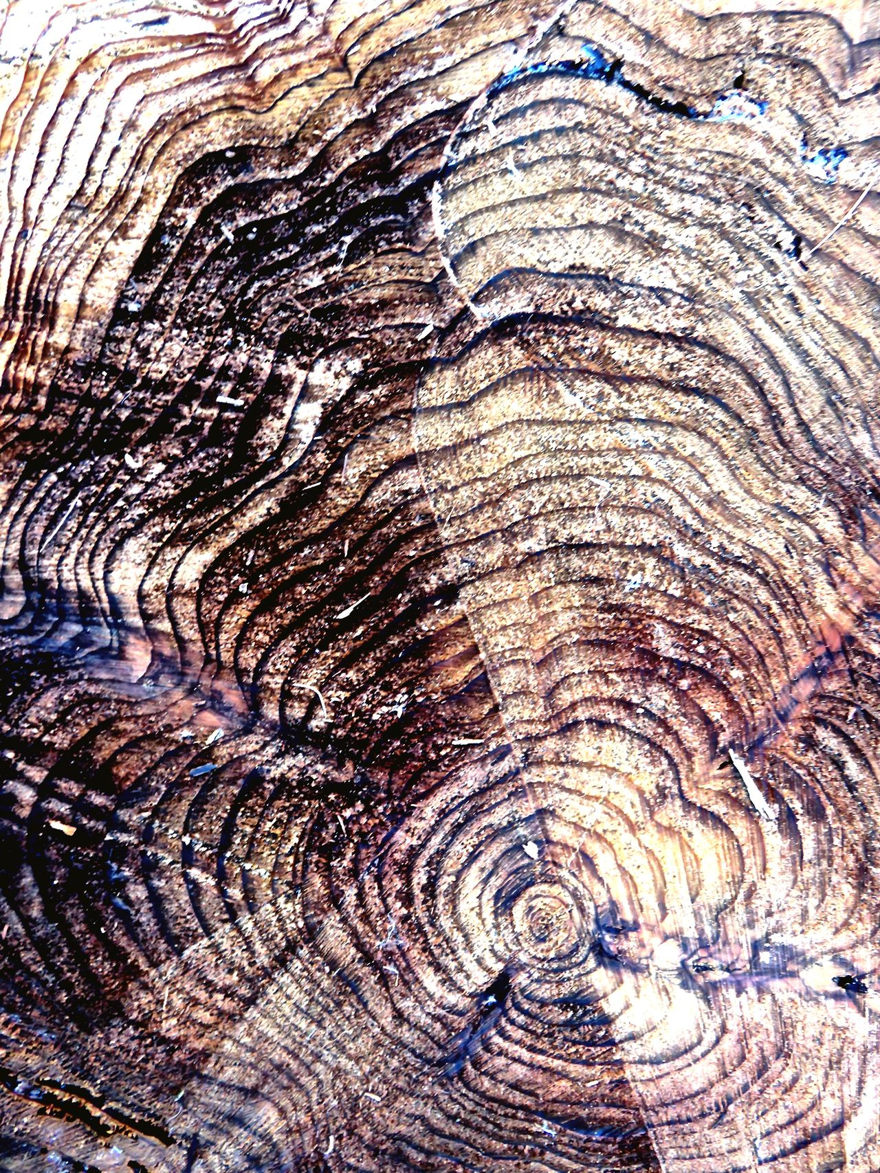 This tree was planted in the ground when I was 9 years old. These tree circles are all years I've lived. Sugi Tree Stump Tree Rings Tree Lover Conection