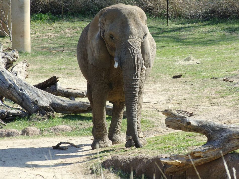 Animal Themes Sunlight One Animal Mammal Shadow Animals In The Wild Animal Wildlife Zoo Outdoors Day No People Nature Elephant Tree Elephants Elephant ♥ Elephant Nature Park Elephant Trekking Elephant Head