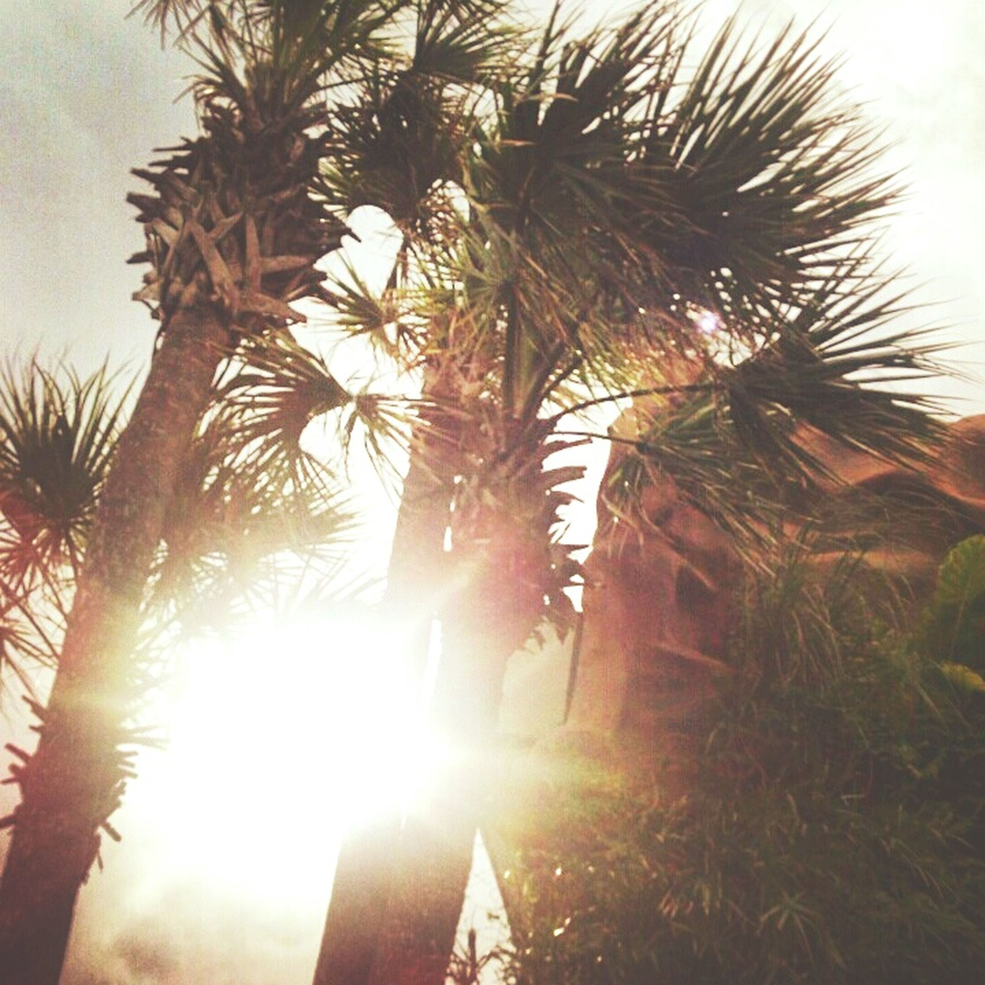 sun, palm tree, sunbeam, sunlight, tree, lens flare, sunset, growth, nature, tranquility, sky, low angle view, sunny, beauty in nature, bright, tranquil scene, back lit, clear sky, silhouette, outdoors