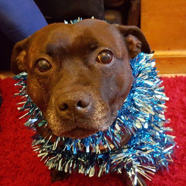 Bored Sundays.. BORED! Christmas Christmas Fun Christmas Staffies Festive Jolly Dogs Staffies