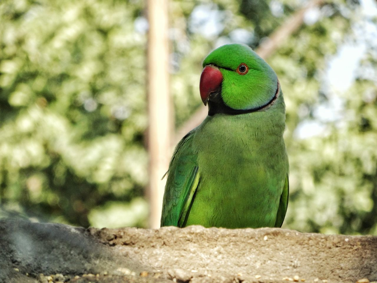 Bird Nature Beauty In Nature Close-up Outdoors No People Parrots Of Eyeem Parrot Lovers Rose Ringed Parakeets Parakeets Nature On Your Doorstep Nature Photography