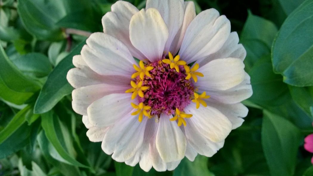 Zinnia Flower Blooming Petal Flower Head Pollen Flower Plant Close-up White Color Fragility Beauty In Nature Zinniaflower Zinnia Plant Nature Nature No People Tranquility Day Flowerporn Flower Collection My Garden