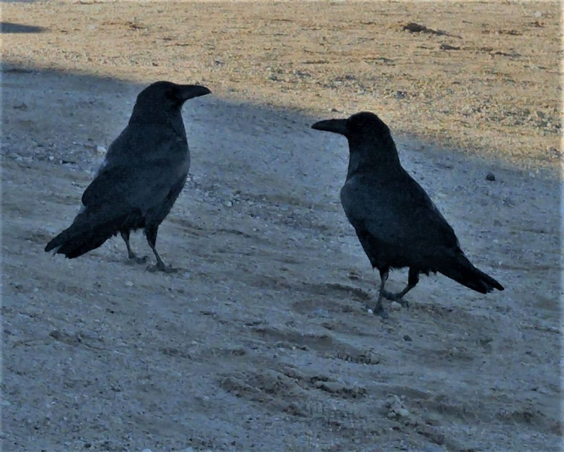 Animal Themes Animals In The Wild Bird No People Outdoors Raven - Bird Two Birds Talking To Each Other Two Things