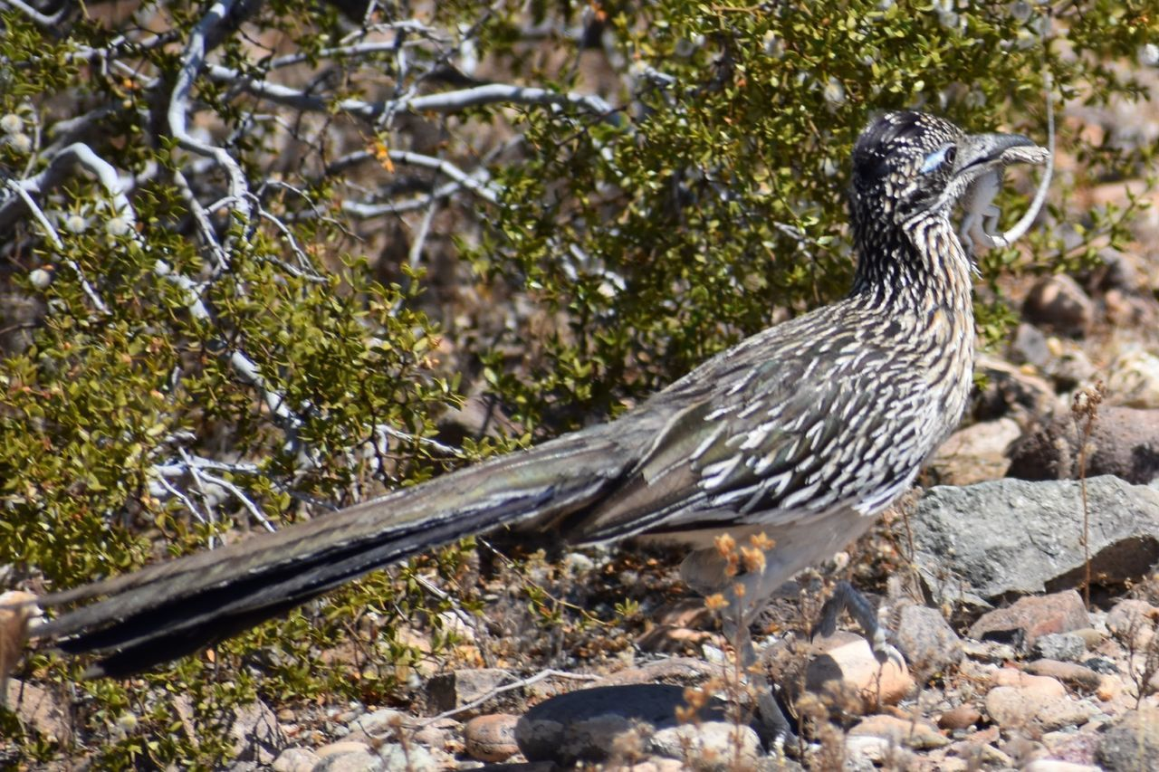 Roadrunner Lizard Bird One Animal Animal Themes Day Animal Wildlife No People Nature Animals In The Wild Outdoors Close-up Perching Branch Tree