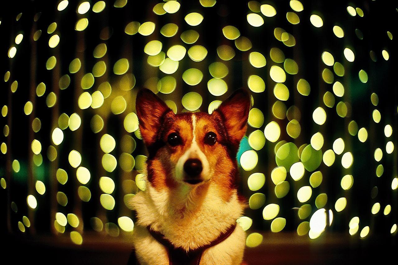 Beautiful stock photos of corgi, Animal Themes, Defocussed, Dog, Domestic Animals