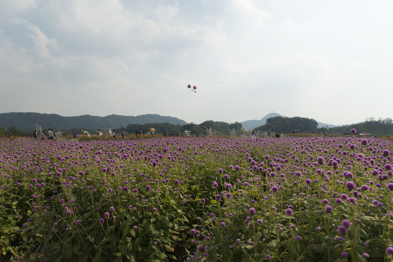 festival of globe amaranth flower with bellvedere at Nari Park in Yangju, Gyeonggido, South Korea Globe Amaranth Flower Agriculture Animal Themes Beauty In Nature Bird Day Field Flower Flying Fragility Freshness Globe Amaranth Growth Landscape Mid-air Nature No People Outdoors Park Plant Rural Scene Scenics Sky