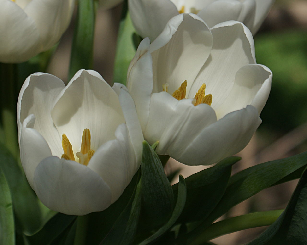 White tulips, spring flowers, outside in natural dappled sunlight. Beauty In Nature Blooming Close-up Day Flower Flower Head Fragility Freshness Growing Leaves Nature No People Outdoors Petal Plant Spring Spring Flowers Sunlight Tulips White Color White Tulips
