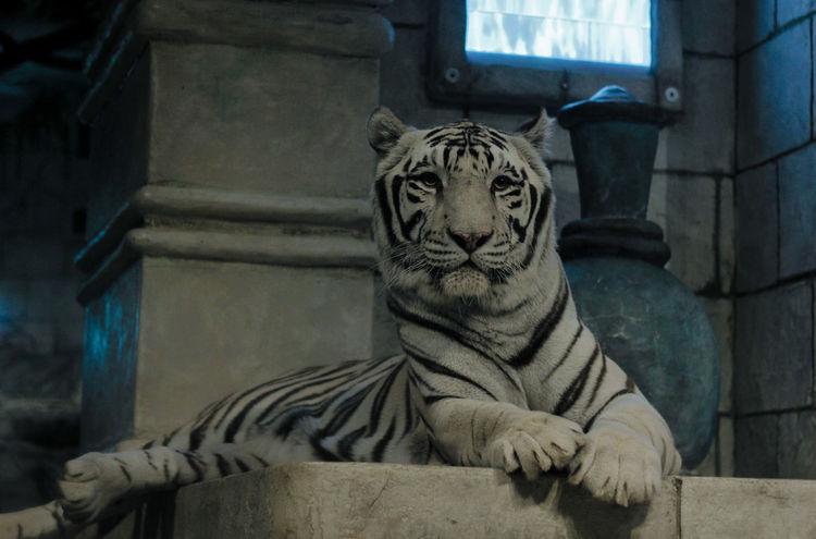 No People Day Canon60d Nature Photography Tigers Tigereyes Tiger Face Feline Art Hunter Houston Texas Houston Aquarium