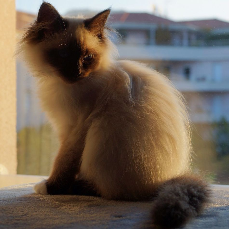 My fav model : Liana Cat Cat Lovers Beautiful Sacredebirmanie Birman