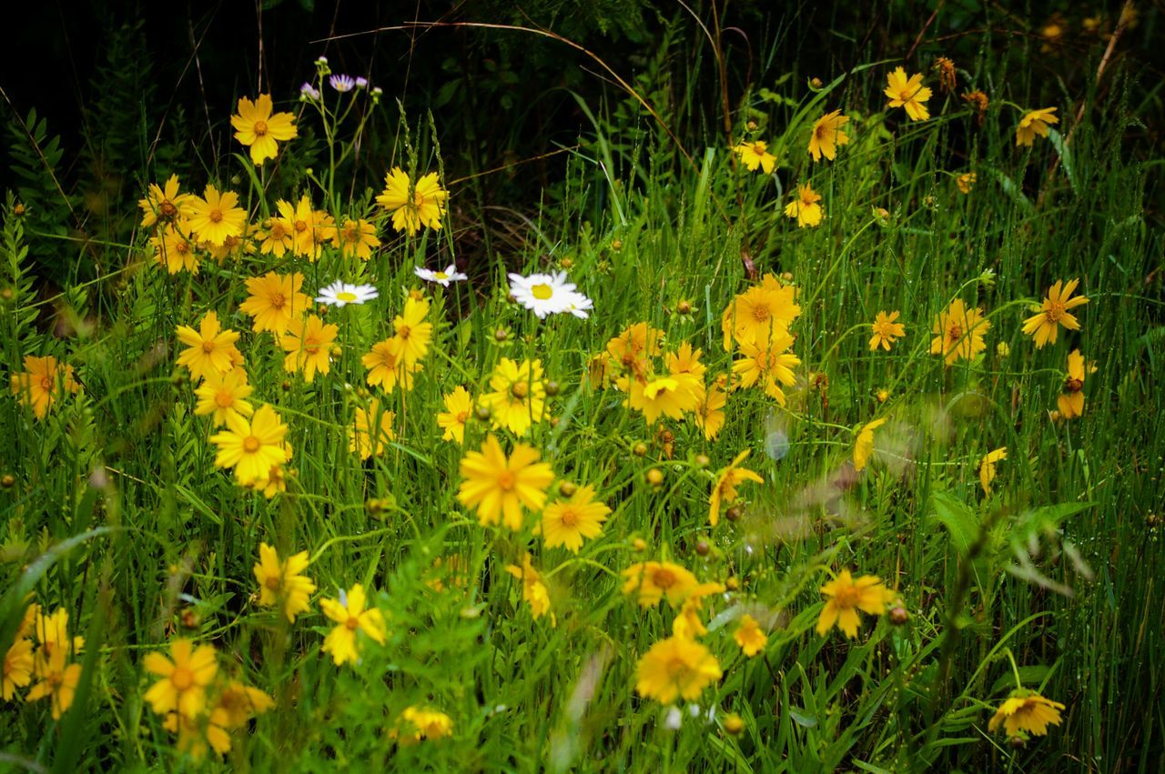 flower, yellow, growth, nature, fragility, plant, petal, animal themes, beauty in nature, freshness, blooming, insect, flower head, grass, outdoors, animals in the wild, field, no people, bee, day, uncultivated, black-eyed susan, bird, buzzing, crocus