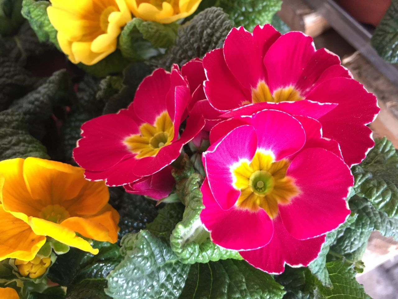 Flower Petal Fragility Beauty In Nature Nature Flower Head Plant Freshness Close-up Growth Blooming Yellow No People Outdoors Day Blossom Plant Growth Nature Beauty In Nature Freshness Primrose