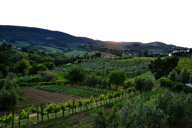 Countryside Day Exploring Tuscany EyeEm Best Shots Grapes Green Green Color Hill Holiday Landscape Nature Non-urban Scene Sunlight Tranquil Scene Tranquility Traveling Tree Trip Tuscany Tuscany Countryside Vacation Showcase March Greetings From Italy Landscapes With WhiteWall