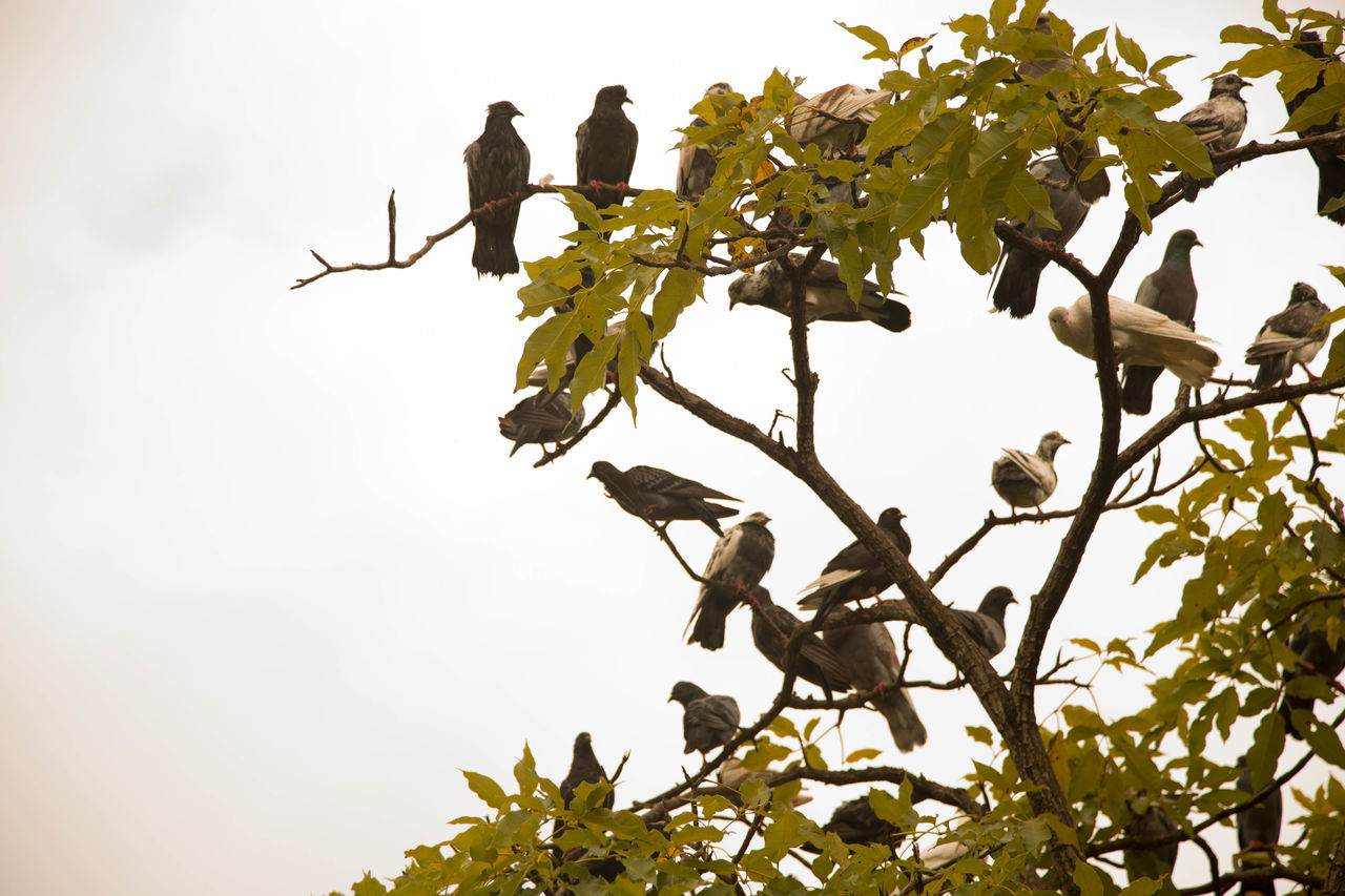 Branch Leaf Nature No People Outdoors Pigeons Pigeonslife Sky Tree