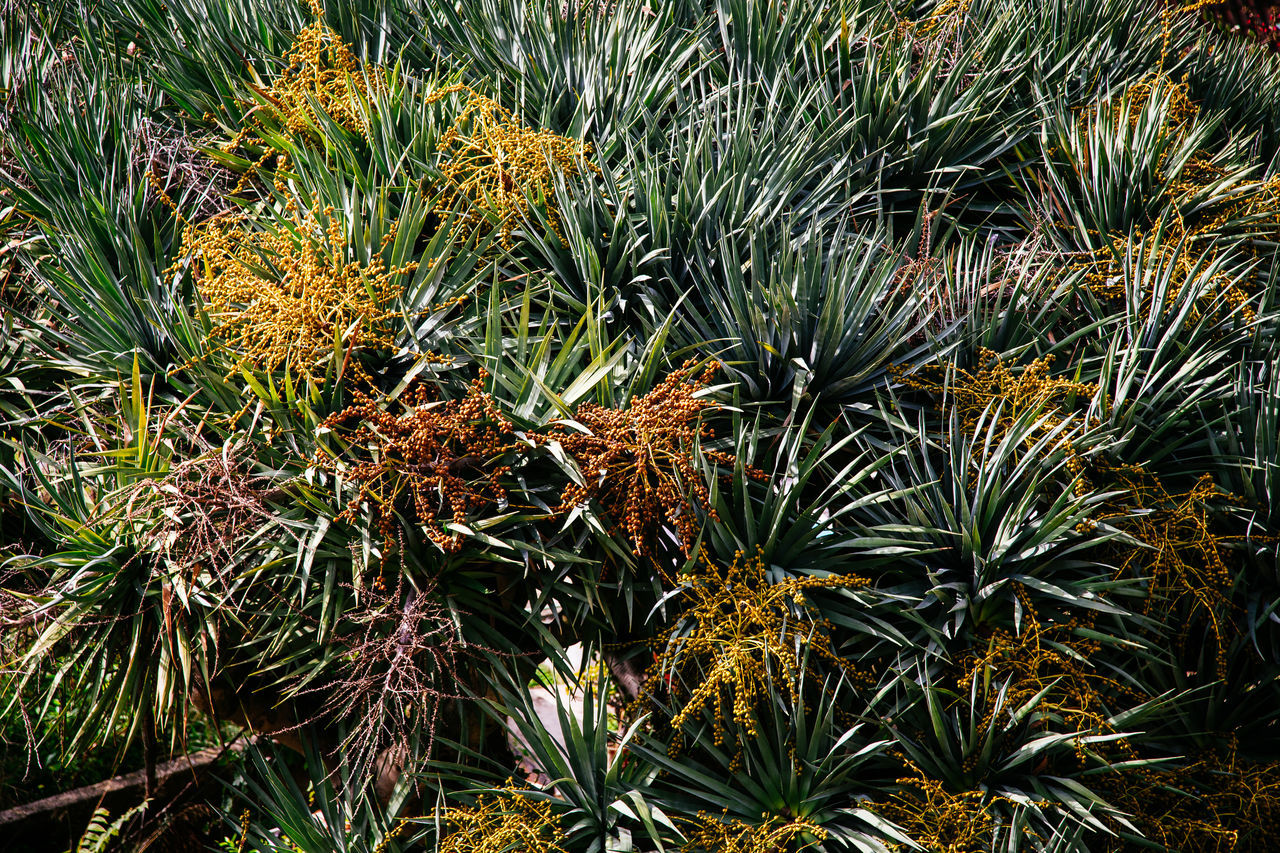 succulent overdose Aloe Vera Backgrounds Beauty In Nature Cactus Close-up Day Full Frame Green Green Color Growth Nature No People Outdoors Plant Succulent