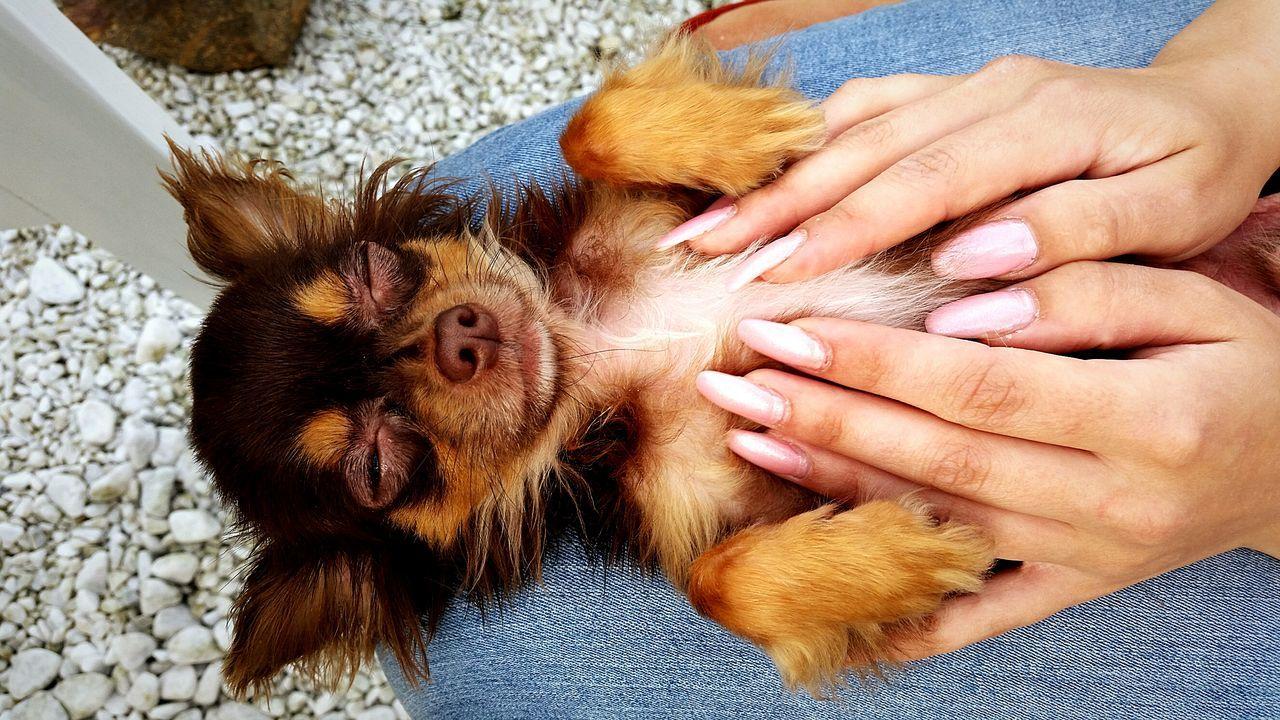 One Animal Mammal Chihuahua - Dog Pets Sleeping Chihuahua Little Dog hands massage a dog Pet Portraits