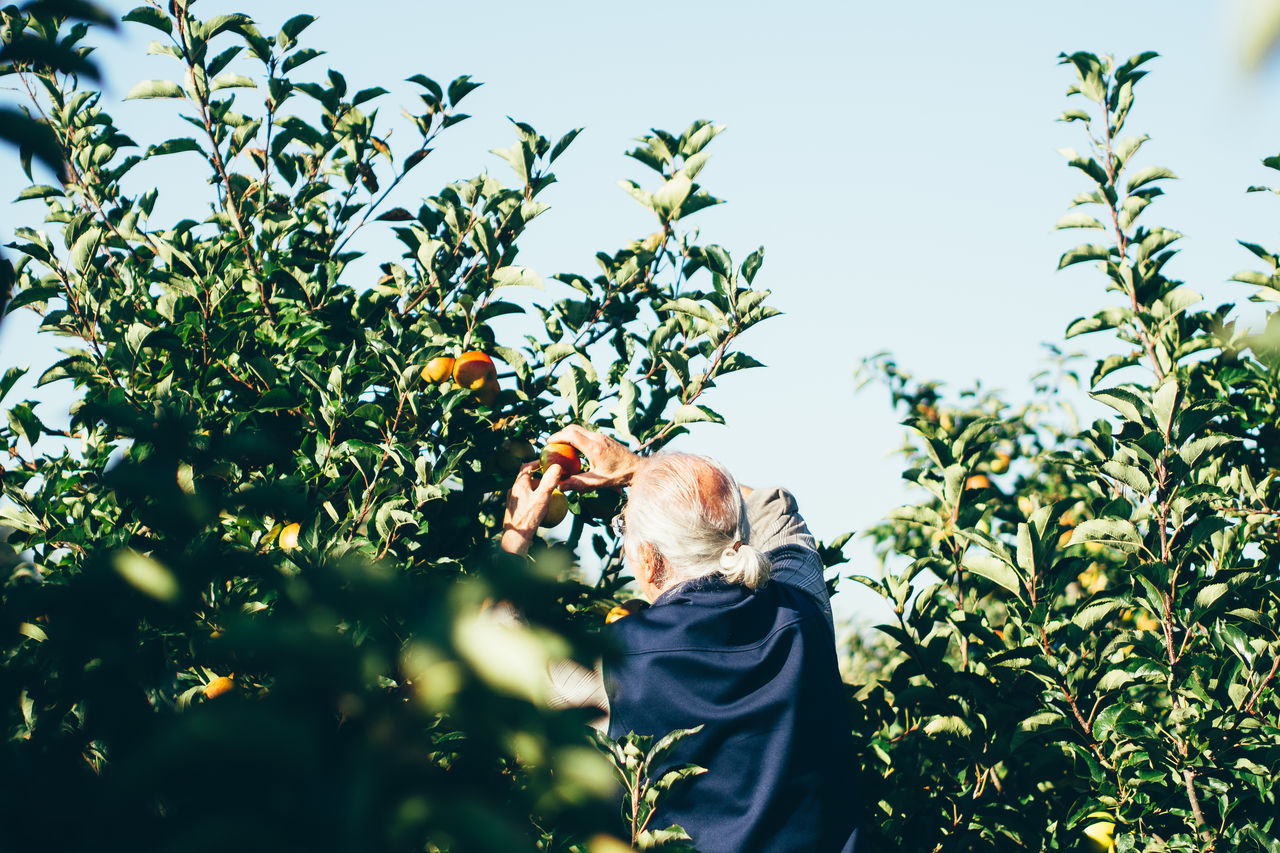 Beautiful stock photos of apple, Aging Process, Agriculture, Apple - Fruit, Apple Tree