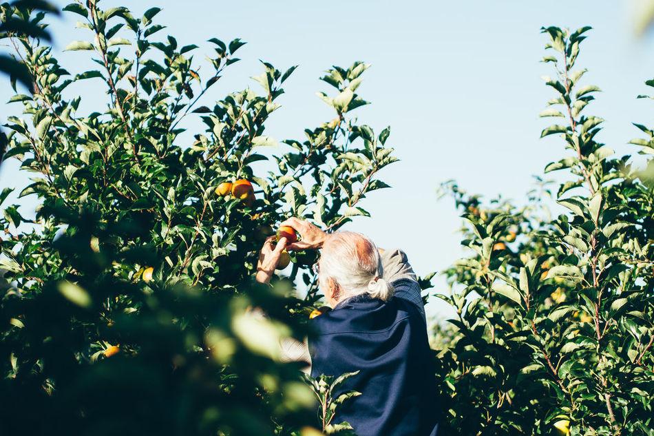 Beautiful stock photos of apple, Aging Process, Agriculture, Apple - Fruit, Apple Tree