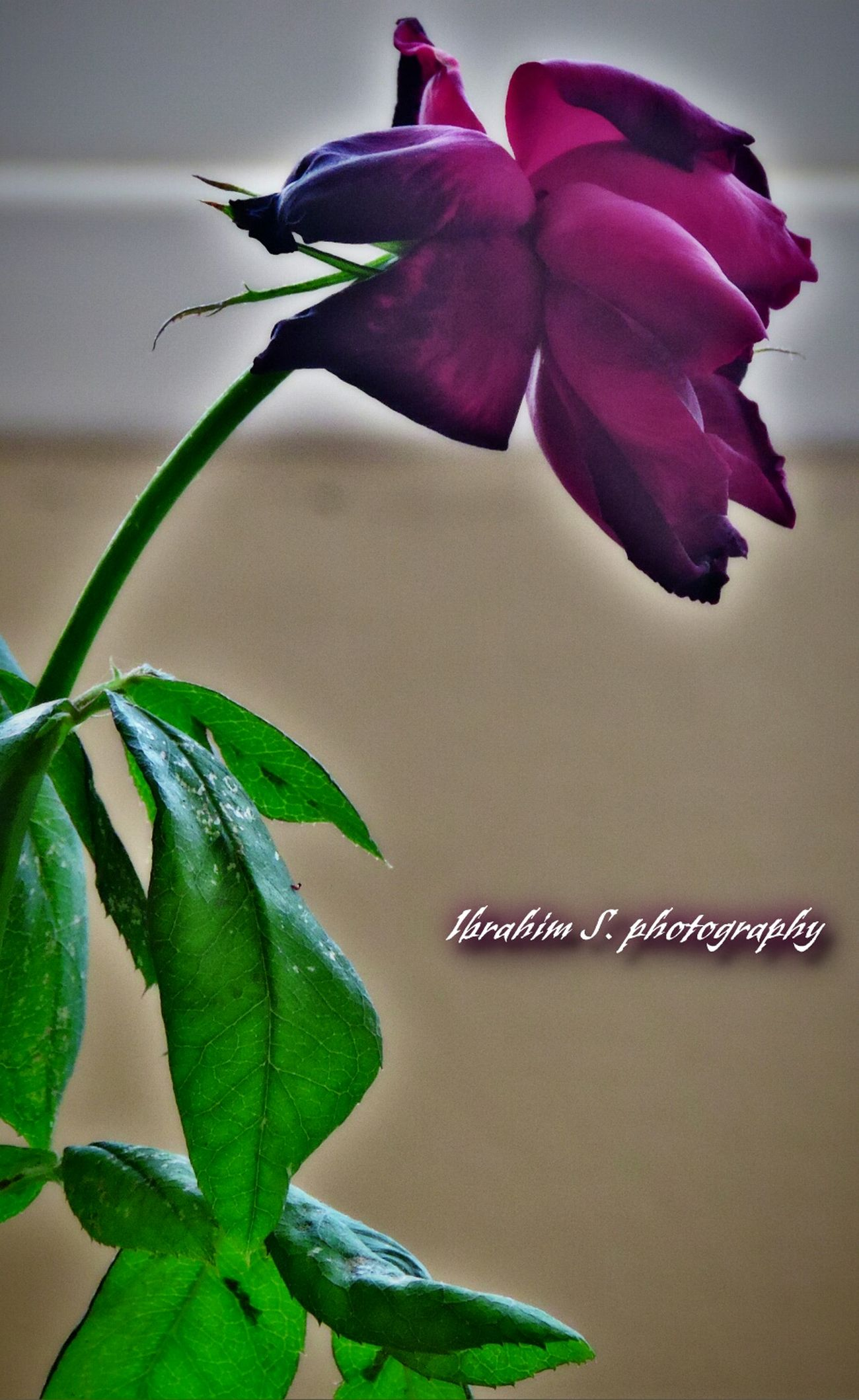 Rosé Red Rose Ibrahim S Photography