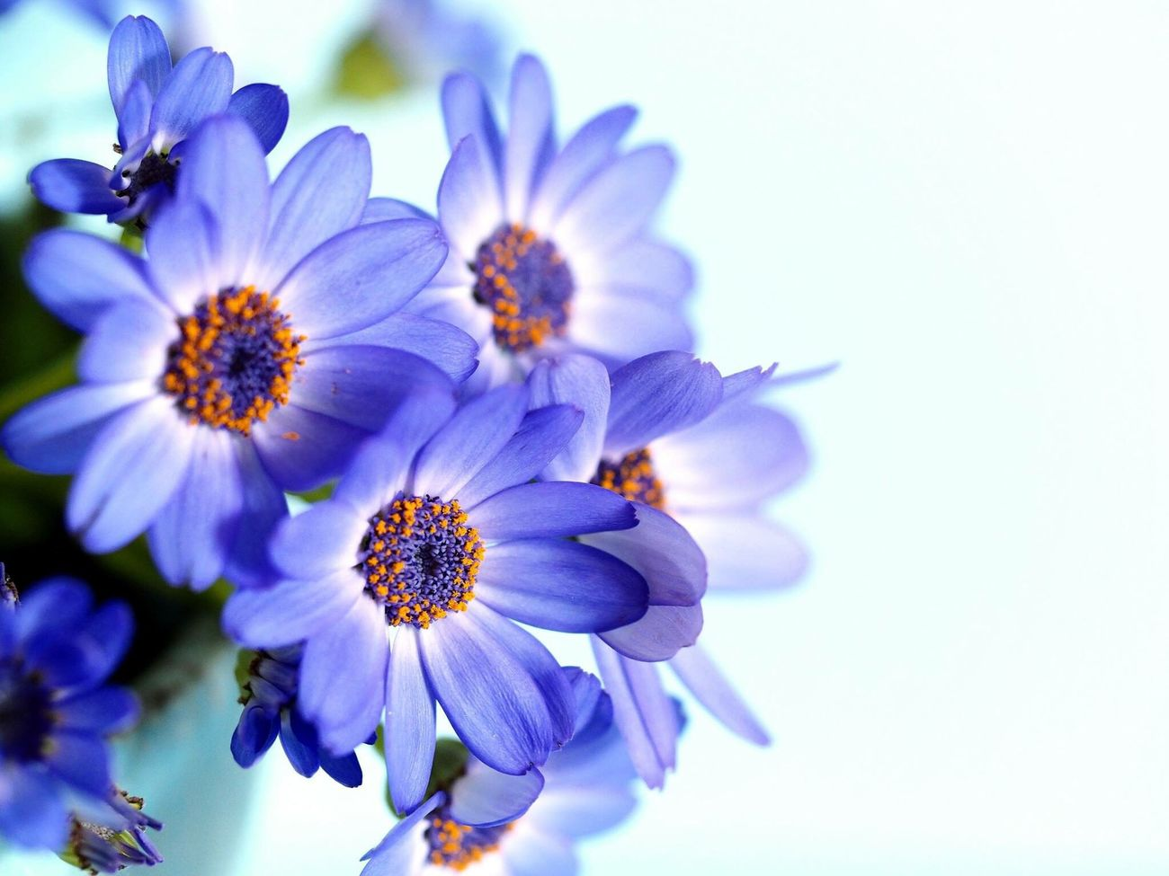 サイネリア Cineraria Blue Blueflower Flower Collection Bluecolor