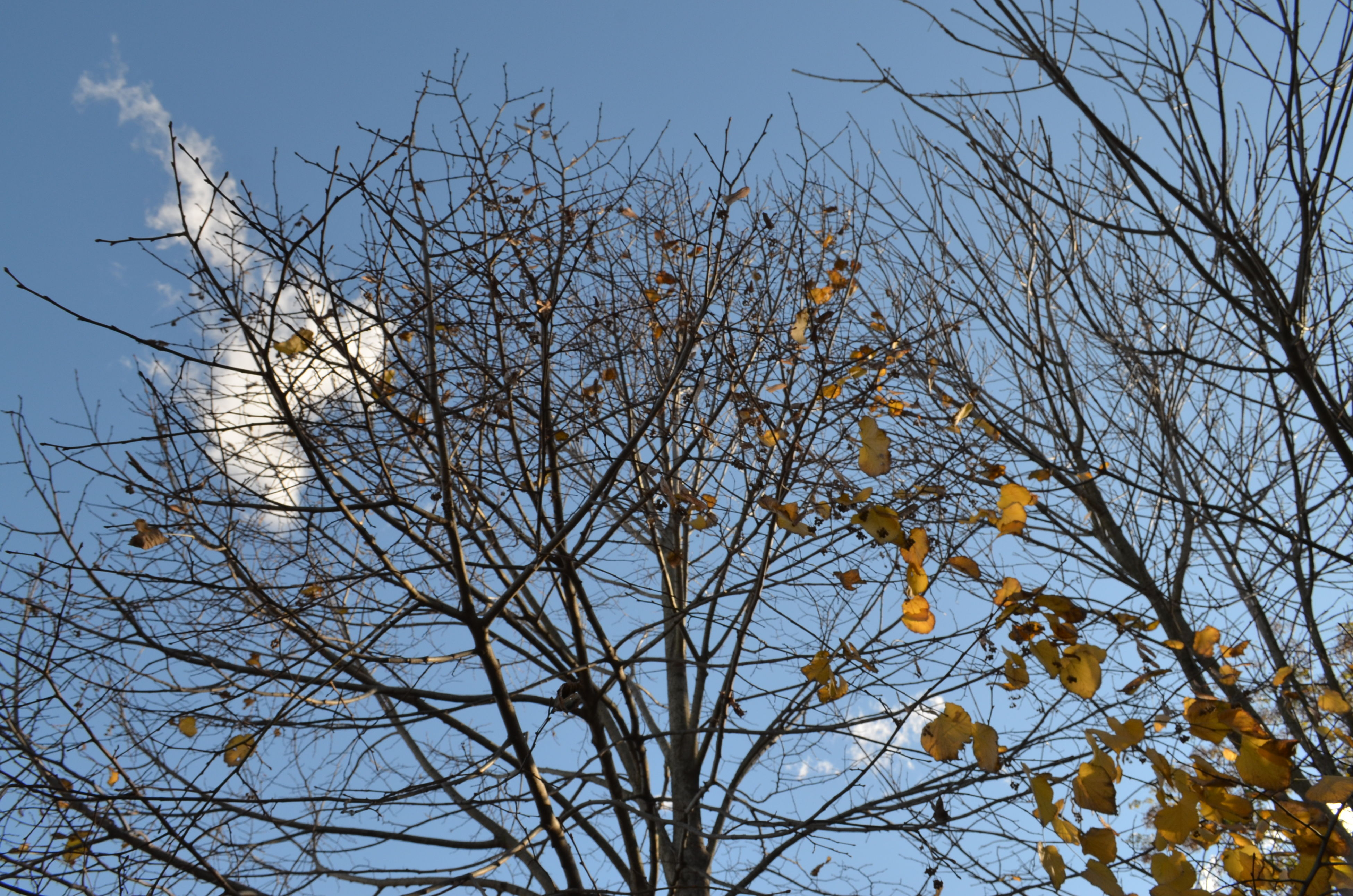 low angle view, bare tree, branch, tree, sky, clear sky, blue, nature, growth, beauty in nature, outdoors, high section, silhouette, tranquility, no people, day, tree trunk, treetop, dusk, scenics
