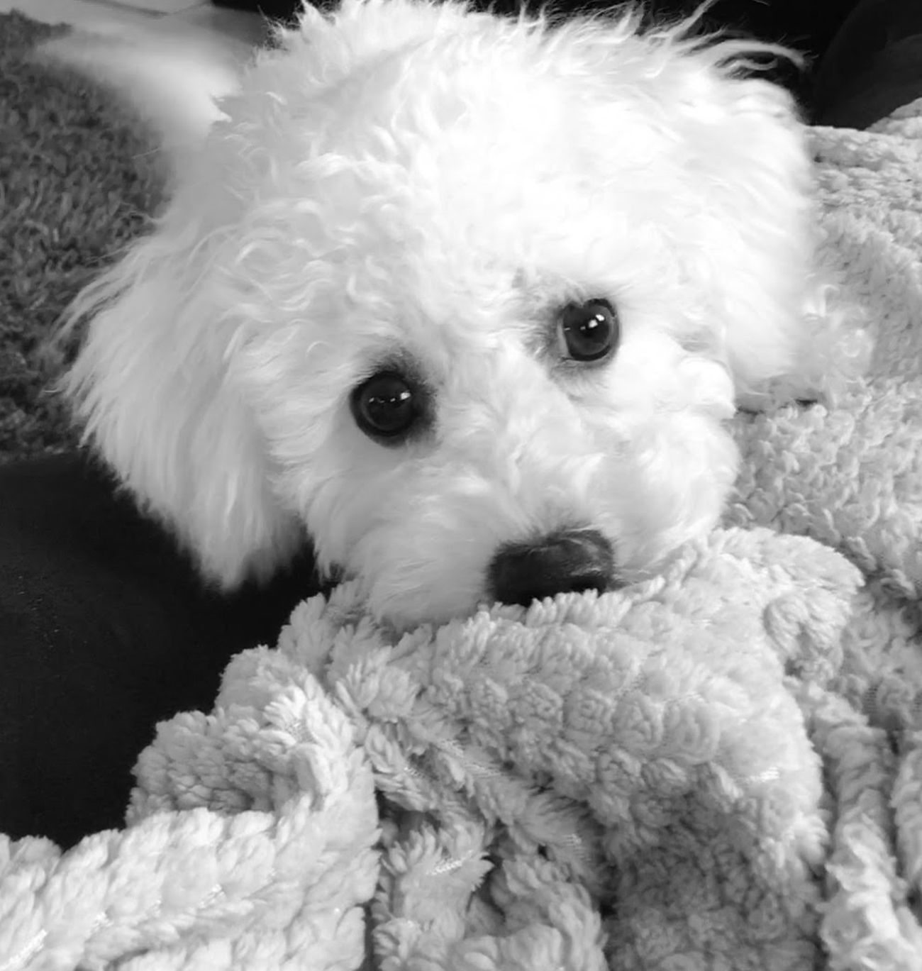 Puppy Puppy Love Bichonfrise Lilly Black And White Photography Dogslife Cute Pets Cute Animals