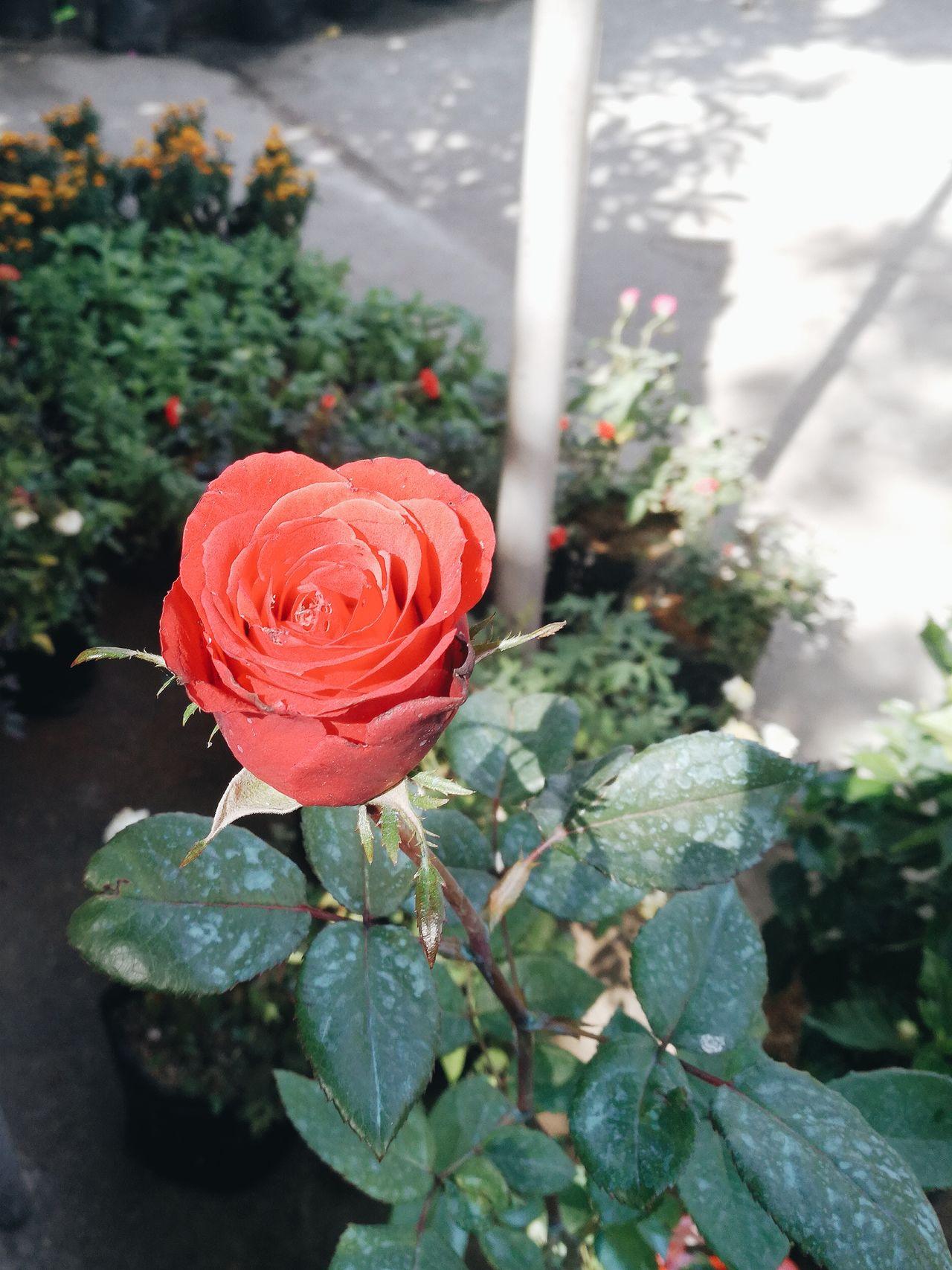 Rose Plant Flower Rosé Flora Market Garden Blooming