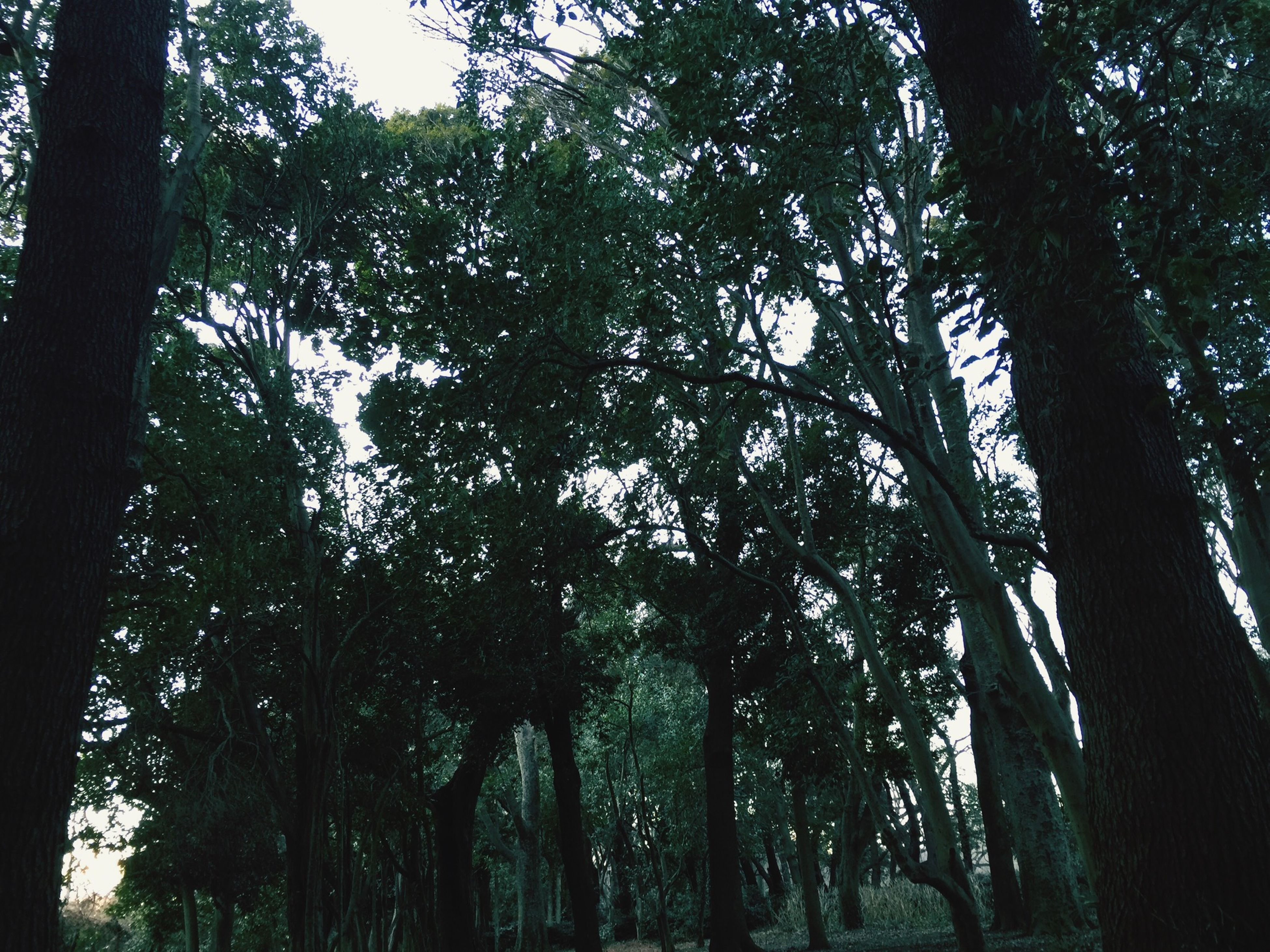 tree, growth, tree trunk, tranquility, forest, low angle view, branch, nature, tranquil scene, woodland, beauty in nature, scenics, green color, sky, lush foliage, non-urban scene, tall - high, outdoors, day, idyllic