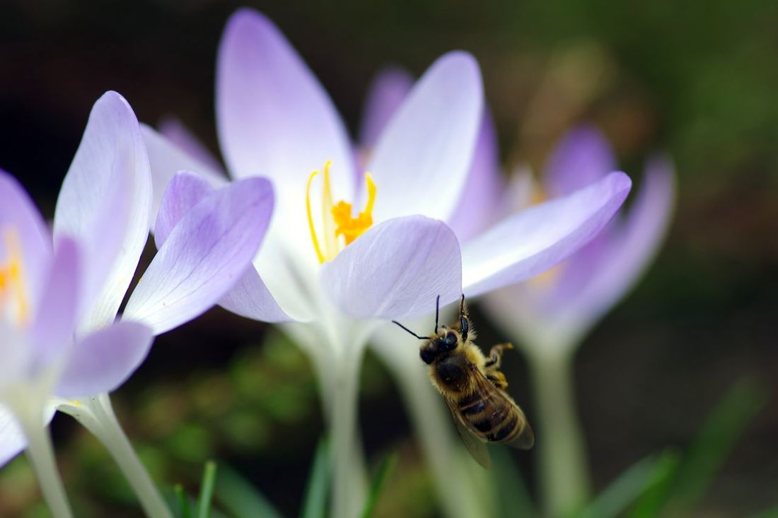 Frühlingsgefühle... Flower Beauty In Nature Crocus Pollen Bee 🐝 Outdoors EyeEm Nature Lover EyeEm Deutschland Streamzoofamily Pentax K5iis Biene Im Anflug🌾 Krokusse