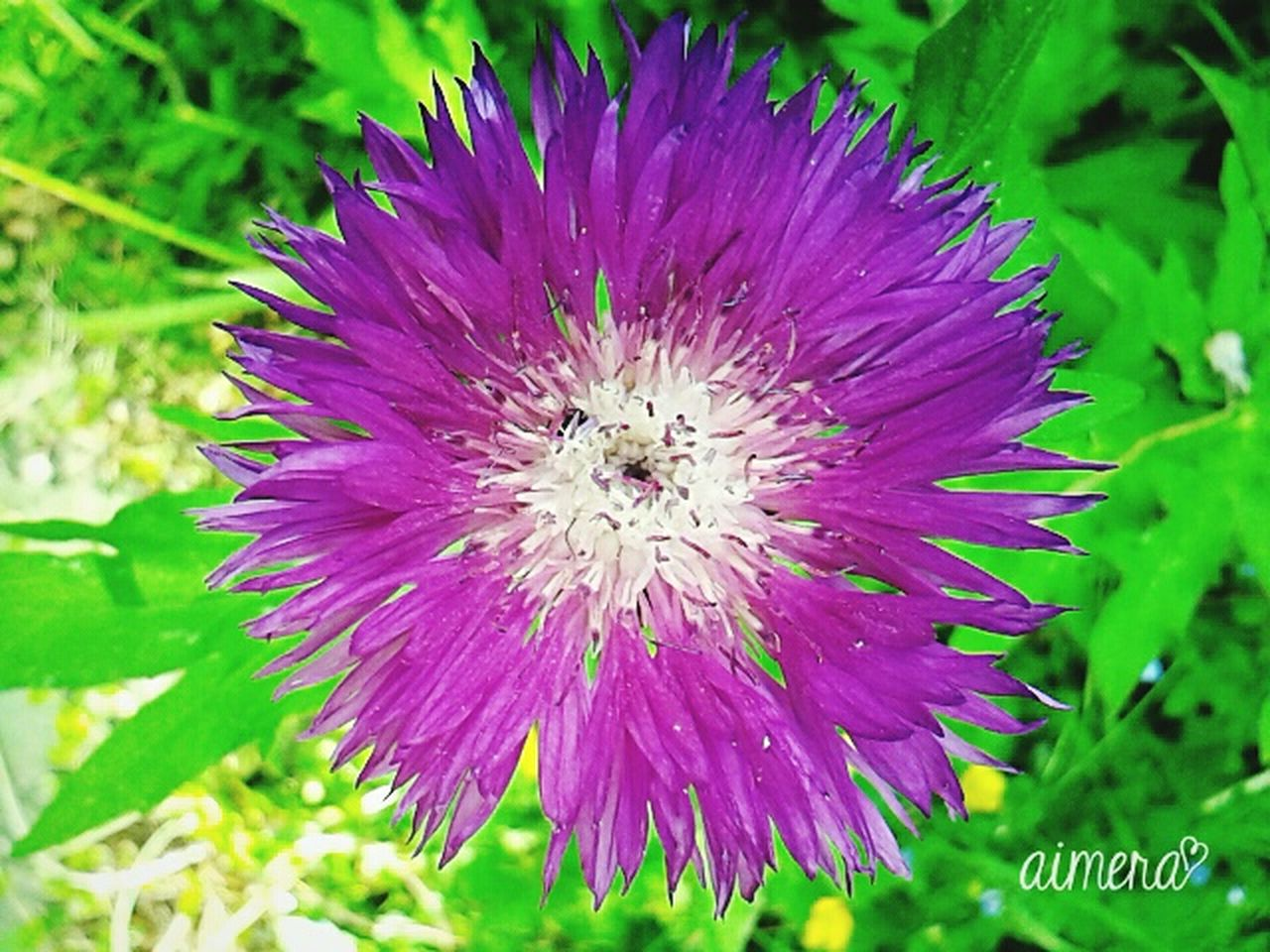 flower, nature, purple, petal, growth, beauty in nature, fragility, flower head, freshness, insect, no people, plant, day, outdoors, close-up, springtime, blooming, animals in the wild, bee, animal themes, pollination, thistle, passion flower