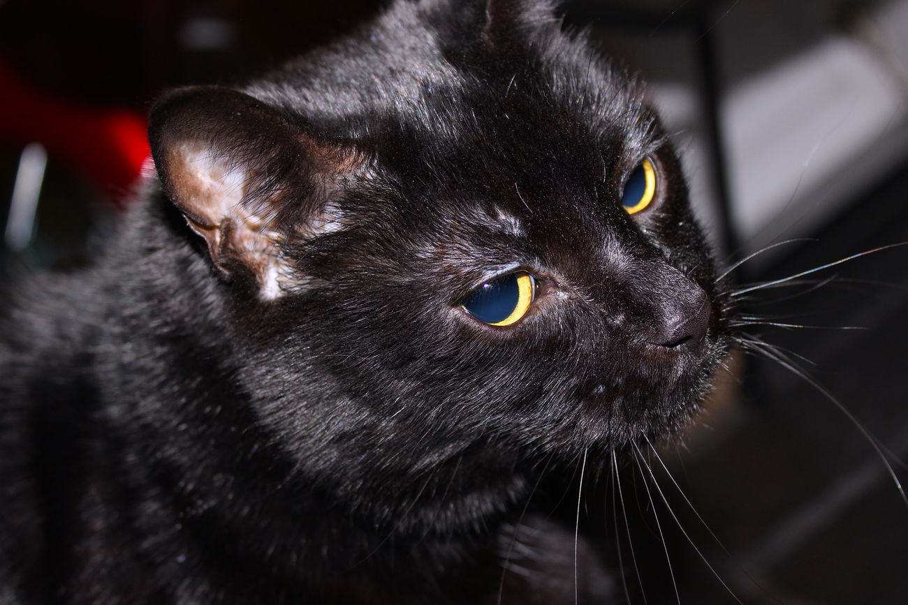 Little Lola - not so little anymore! Animal Themes Black Color Cat Close-up Cute Day Domestic Animals Domestic Cat Fat Feline HD Indoors  Mammal No People One Animal Pets Portrait Whisker Yellow Eyes