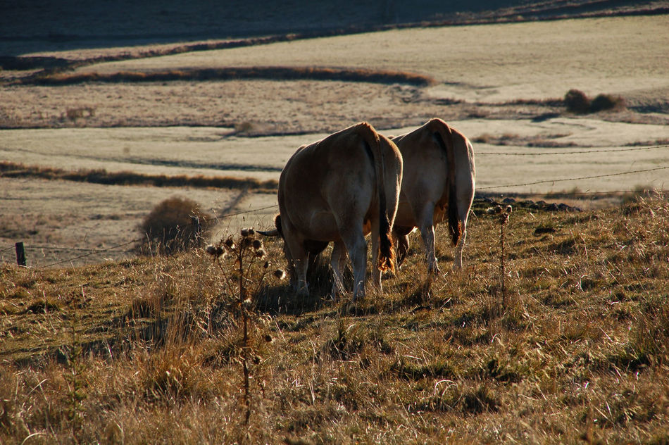 Beautiful stock photos of kühe, Animal Themes, Countryside, Cow, Day